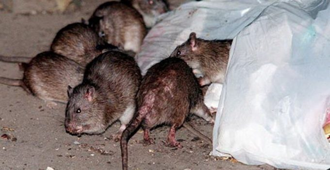 best-rat-poison