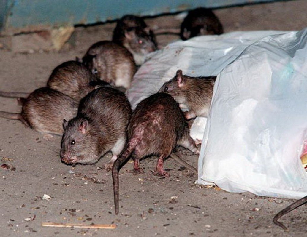 Top Ten Best Rat Poisons To Rid Your Home Of Rodents In